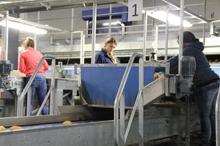 De tweede inspectie bestaat in een handmatige controle, waarbij medewerkers aardappelen met onregelmatigheden verwijderen. Op die manier gaan enkel en alleen de beste aardappelen naar de klant.